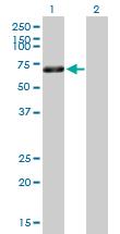 Western blot - Hsp60 antibody (ab89609)