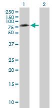 Western blot - COX1 / Cyclooxygenase 1 antibody (ab89630)