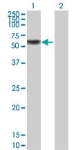 Western blot - IRF6 antibody (ab89644)