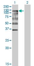 Western blot - Ube1L antibody (ab89647)