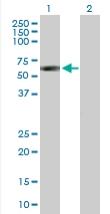Western blot - SIL1 antibody (ab89678)