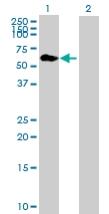 Western blot - GERP antibody (ab89680)