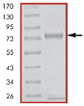 SDS-PAGE - TAK1 + TAB1 protein (Active) (ab89692)