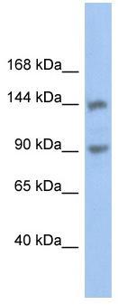 Western blot - CNTNAP3 antibody (ab89720)