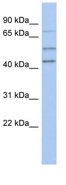 Western blot - NEDD1 antibody (ab89738)