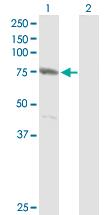Western blot - CENTB1 antibody (ab89766)