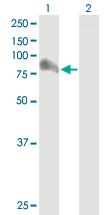 Western blot - GRAF antibody (ab89783)