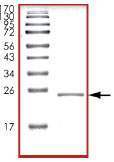 SDS-PAGE - RAC3 protein (Human) (ab89816)