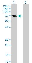 Western blot - MAVS antibody (ab89825)
