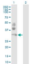 Western blot - PD1 antibody (ab89828)