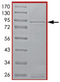 SDS-PAGE - SNT2 protein (Tagged) (ab89845)