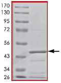 SDS-PAGE - Bad protein (Tagged) (ab89848)