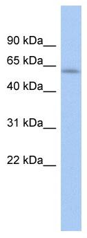Western blot - L2 antibody (ab89865)
