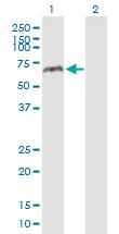 Western blot - Monoamine Oxidase A antibody (ab89921)