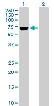 Western blot - MSL3L1 antibody (ab89943)