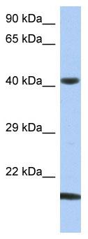 Western blot - SEC14L4 antibody (ab89960)