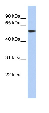 Western blot - Anti-GLUD1 antibody (ab89967)