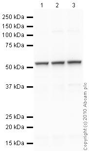 Western blot - alpha Tubulin antibody - Loading Control (ab89984)