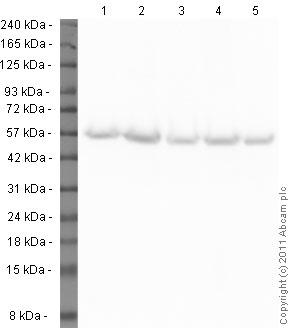 Western blot - Anti-alpha Tubulin antibody - Loading Control (ab89984)
