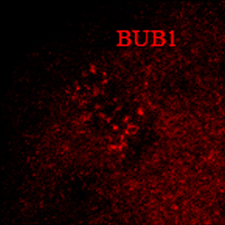 Immunocytochemistry/ Immunofluorescence - Anti-Bub1 antibody (ab9000)