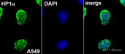 Immunocytochemistry/ Immunofluorescence - HP1 alpha antibody - Heterochromatin marker (ab9057)