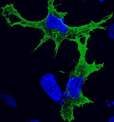 Immunocytochemistry/ Immunofluorescence - Myc tag antibody (ab9106)