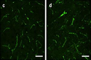 Immunohistochemistry (PFA perfusion fixed frozen sections) - Anti-Aquaporin 4 antibody [4/18] (ab9512)