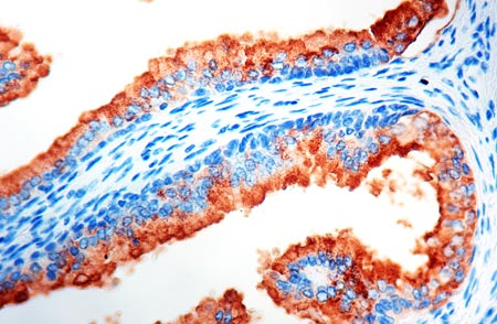 Immunohistochemistry (Formalin/PFA-fixed paraffin-embedded sections) - Anti-Prostate Specific Antigen antibody (ab9537)