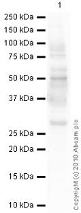 Western blot - Aquaporin 1 antibody [1/22] (ab9566)
