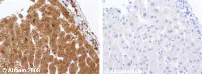 Immunohistochemistry (Formalin/PFA-fixed paraffin-embedded sections) - IGF1 antibody (ab9572)