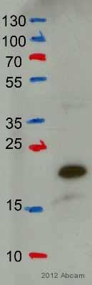 Western blot - Anti-IGF2 antibody (ab9574)