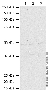 Western blot - ORC4L antibody - ChIP Grade (ab9641)