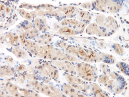 Immunohistochemistry (Formalin/PFA-fixed paraffin-embedded sections) - Anti-MCP2 antibody (ab9671)