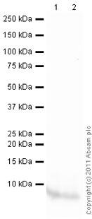 Western blot - Anti-EGF antibody (ab9695)