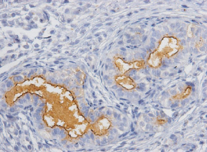 Immunohistochemistry (Formalin/PFA-fixed paraffin-embedded sections) - Anti-IL1 beta antibody (ab9787)
