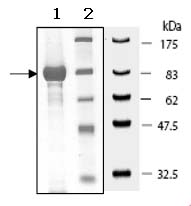 SDS-PAGE - PTPRS protein (Active) (ab90018)