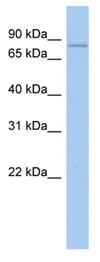 Western blot - Macrophage Specific Gene antibody (ab90019)