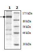 SDS-PAGE - Uba6 protein (Tagged) (ab90022)