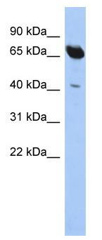 Western blot - SCFD1 antibody (ab90043)