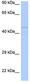 Western blot - PAOX antibody (ab90062)