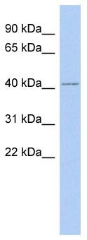 Western blot - PAS1C1 antibody (ab90129)