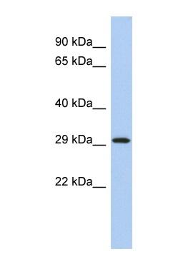 Western blot - 14-3-3 epsilon antibody (ab90134)
