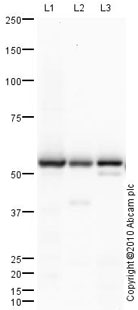 Western blot - Selenium Binding Protein 1 antibody (ab90135)