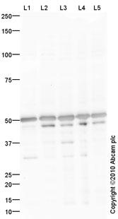 Western blot - Anti-Caspase-9 antibody (ab90236)