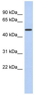 Western blot - FAM71D antibody (ab90262)