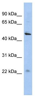 Western blot - C12orf50 antibody (ab90268)