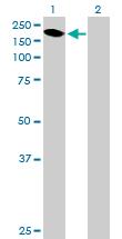 Western blot - Integrin alpha 1 antibody (ab90279)