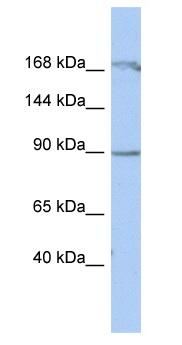 Western blot - NARG1 antibody (ab90291)
