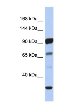 Western blot - PCDHA10 antibody (ab90293)