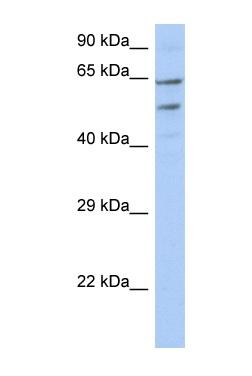 Western blot - TMCC3 antibody (ab90296)